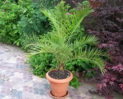 Как вырастить финиковую пальму из косточки? Наши советы по проращиванию