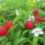 Тибетская малина: выращивание, польза, применение