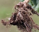Кила капусты: причины, как бороться и не допускать болезни