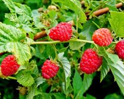 Правильная обработка малины от болезней и вредителей — залог богатого урожая
