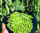 Вкус детства: лучшие сорта гороха для выращивания