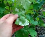 Милдью винограда (ложная мучнистая роса): лечение, профилактика, научное определение