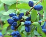 Жимолость – правила ухода и выращивания вкусной и очень полезной ягоды