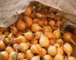 Лук-севок в открытом грунте — сроки посадки и тонкости выращивания