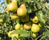 Грушевый сад в Подмосковье — выбираем лучшие сорта саженцев