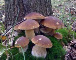 Эффективное выращивание белых грибов в домашних условиях: способы и советы