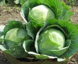 Лучшие сорта поздней капусты. Идеальные кандидаты для зимнего хранения