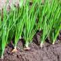 Счастье луковое: эффективные способы борьбы с болезнями репчатого лука