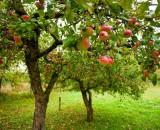 Яблоня Чемпион – лидер по урожайности. Все о правильном выращивании и уходе