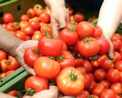 Самые урожайные сорта томатов: как получить богатый урожай в разных условиях