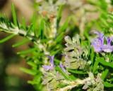 Розмарин: выращивание и уход за экзотическим кустарником