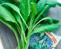 Огуречная трава: сорняк или ценная культура? Сорта, опыт выращивания, правила ухода