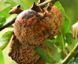 Плодовая гниль в вашем саду: как распознать грибок и не дать ему шанса для размножения