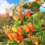 Малина «Оранжевое чудо» — сочное солнце на ваших грядках
