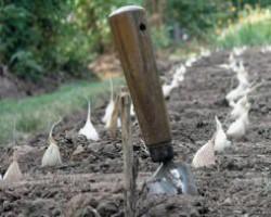 Руководство по выращиванию ярового и озимого чеснока в открытом грунте