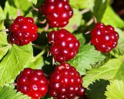 Княженика: ягода с аристократическим характером. Описание, сорта, выращивание и уход