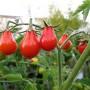 Японский трюфель – томаты с отменным вкусом. Особенности выращивания и ухода
