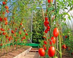 NPK — для рывка! Подкормка томатов в теплице. Инструкции и правила