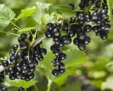 Жемчужина плодовых кустарников — черная смородина. Все о посадке, уходе и лучших сортах