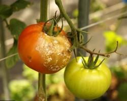 Фитофтора (фитофтороз) на помидорах — как бороться с грибком и победить