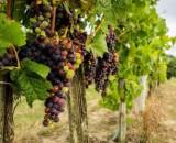 Что делать при хлорозе винограда? Способы лечения и профилактики