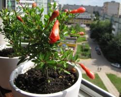Все о выращивание граната в домашних условиях: правила посадки и уход