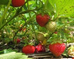 Подкормка клубники во время цветения и плодоношения — как добиться достойного урожая без риска для растения