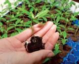 Грамотная подкормка рассады перца – залог богатого урожая