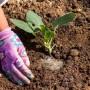 Подкормка капусты для обильного урожая в открытом грунте: полезные советы
