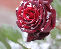 Как укрыть розы на зиму: практические советы и пошаговая инструкция