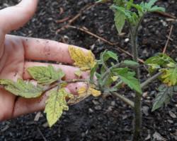 Как спасти рассаду помидор от увядания? Обзор случаев неправильного ухода и болезней