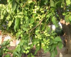 Как правильно посадить и вырастить грецкий орех
