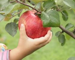 Сладкий август в вашем саду: яблоня сорта «Конфетное»
