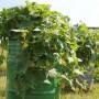 Выращивание огурцов в бочках — экономим место не в ущерб урожаю!