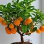 Ухаживаем за мандариновым деревом, чтобы получить красивый экземпляр