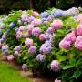 Цветущая гортензия: посадка и уход за 8 чудом света