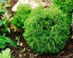 Находка для украшения сада – западная туя Тедди. Эстетика, оригинальность, неприхотливость