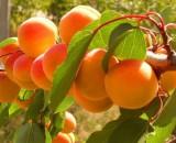 Обзор популярных и выносливых сортов абрикосов для Подмосковья