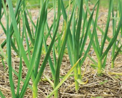 Почему желтеет чеснок весной и что нужно сделать, чтобы спасти урожай