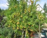 Выращиваем вкусные груши! Обзор луших сортов для средней полосы России