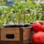 Выращивание рассады томатов. Cекреты хорошего урожая