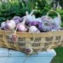 Как спасти чеснок от вырождения. Выращивание чеснока из бульбочек