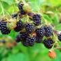 Какую ежевику выращивать в средней полосе – обзор лучших сортов