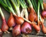 Лук шалот: особенности его выращивания и сортовое разнообразие