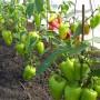 Обзор удобрений и правил подкормки перцев в теплице и открытом грунте