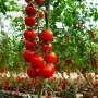 Помидорки-вишенки. Томат черри «Вишня красная» — описание и секреты выращивания