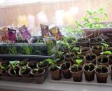 Зимнее садоводство или что сеять на рассаду в январе