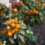 Низкорослые томаты: топ лучших сортов для теплицы и открытого грунта