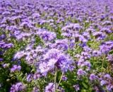 Фацелия — сидерат для истощенной почвы: когда посеять и как скашивать