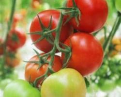 Выбираем лучшие сорта помидор 2018 года. Наш рейтинг сортов для теплицы и открытого грунта